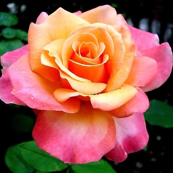 Teehybriden Edelrosen Gelb Orange Rosa Frénésie Diskret